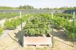 Cannabis plants growing on a legal medical cannabis farm in Washington