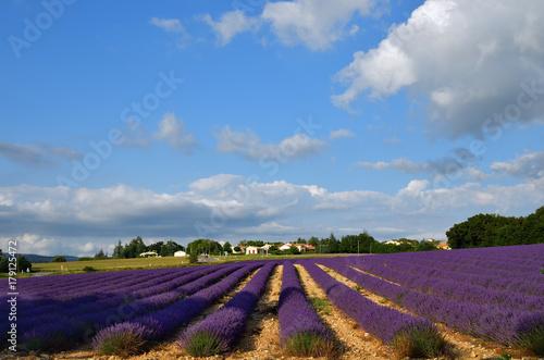 Keuken foto achterwand Aubergine Lavender field, Provence, France