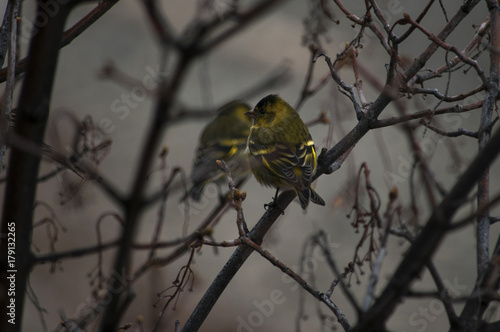 Tuinposter Palermo Wild canary