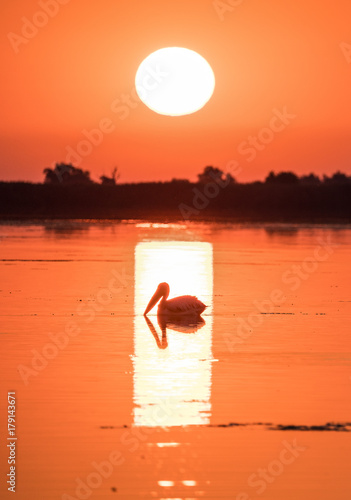 Fotobehang Koraal Pelican at sunrise in the Danube Delta, Romania