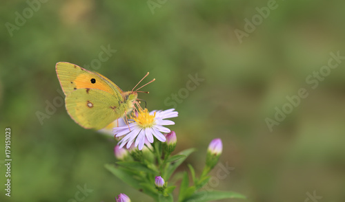 Aluminium Vlinder Butterfly and bee are located on the same flower