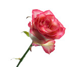 Pink rose with leaves isolated. Selective focus. - 179157013