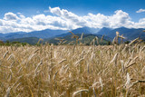 Romanian countryside, beutiful mountainous landscapes, golden fields of corn, green meadows, interesting buildings -  idyllic area for holidays. Romania. - 179165460