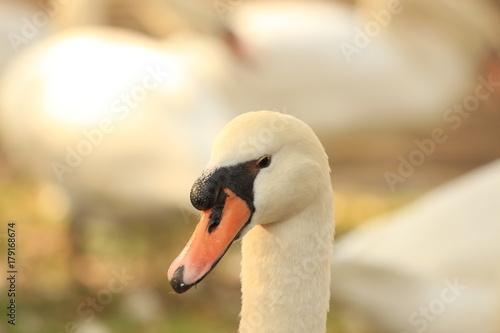 Fotobehang Zwaan portrait of a white swan
