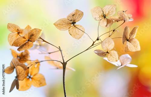 Aluminium Hydrangea Autumn dried Hydrangea flowers
