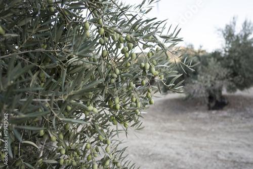 Deurstickers Toscane Olive trees. Green olives fruit detail