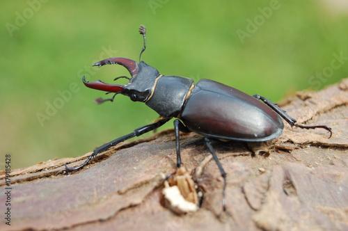 Fotobehang Hert Lucane mâle (Lucanus cervus)