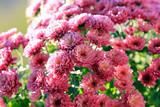 Розовые хризантемы - 179191877