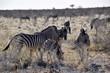 Wild lebende Tiere Namibia - Löwenfamilie