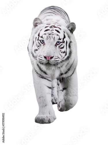 White big tiger Panthera tigris bengalensis walking isolated at white Poster