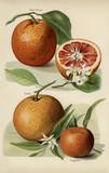 The fruit grower's guide  : Vintage illustration of orange - 179204030
