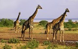Giraffe Herd with tall necks on a Safari in Wildlife Sanctuary in Serengeti National Park, a Unesco World Heritage Site, Tanzania Africa