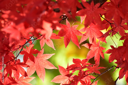 Papiers peints Rouge 明るい雰囲気のもみじ