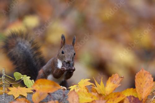秋のエゾリス Poster