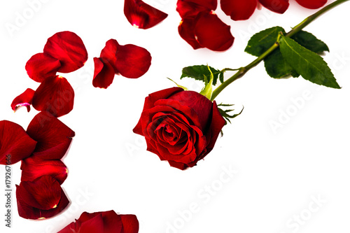 Foto Murales one red rose around her red petals on a white background