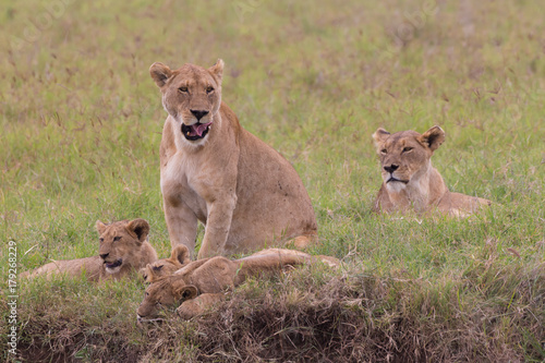 Fotobehang Lion Lioness with her cubs in Ngorongoro crater consrvation area national park, Tanzania, Afrika.