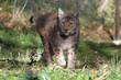 A lynx in the protected fauna of Civitella Alfedena