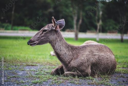 Fotobehang Hert Deer walking on the lawn. In the park. Thailand