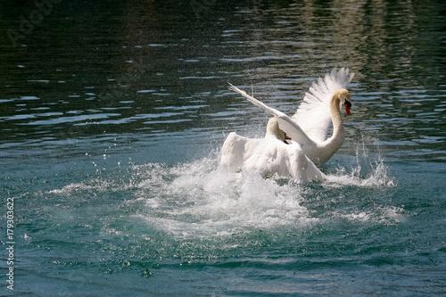 Fotobehang Zwaan One swan attacks the other one