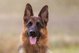 Schäferhund - 179303868