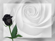 Realistic black rose, background.