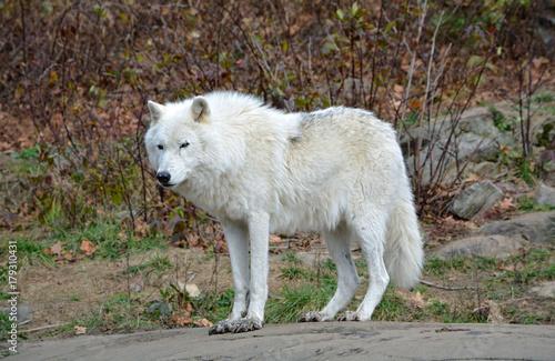 Aluminium Wolf Arctic Wolf