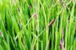 Sunburnt in the sun dandelions in the summer field - 179312247