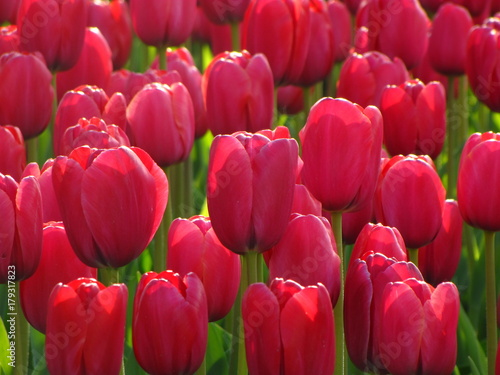 Fotobehang Tulpen Many red tulips