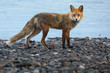 A red fox on a rocky beach in the Yukon, Canada