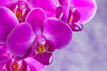 purple orchids composition