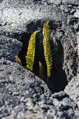 Ferns of the Mauna Kea of Hawaii island and lava