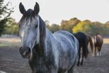 Grey paint horse