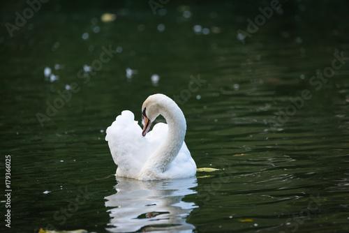 Fotobehang Zwaan Swan 02