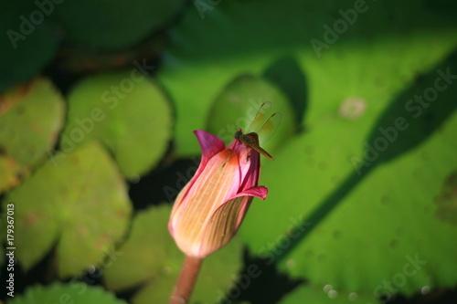 Pink lotus /  Pink lotus with dragonfly Poster