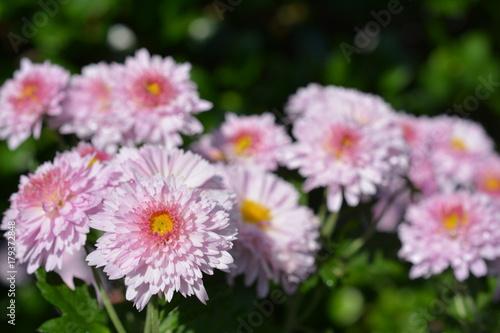 Fotobehang Purper 秋、満開の小菊