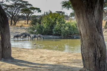 Herd of Wildebeests and Zebras