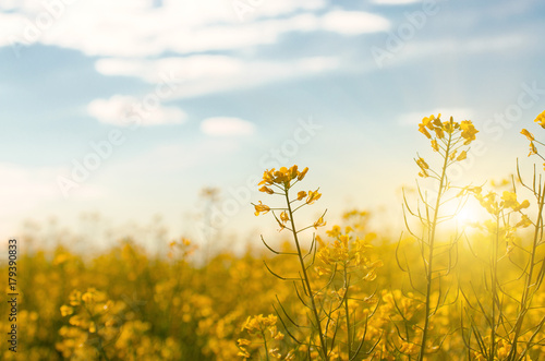 Fotobehang Honing Bright yellow canola field under blue sky summer day