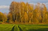 Autumn golden birch grove and green  field