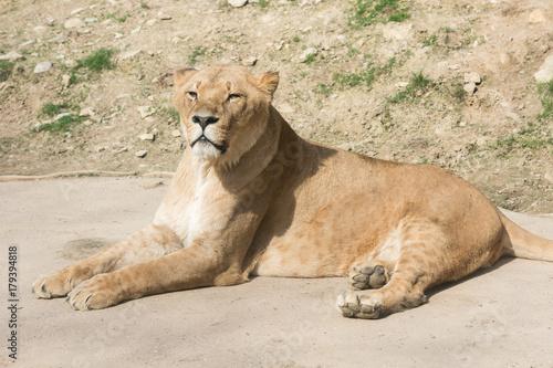 Fotobehang Lion Löwenweibchen