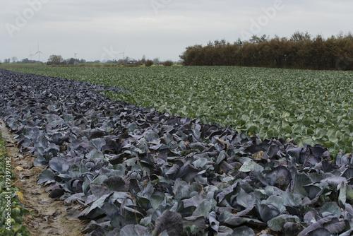 Fotobehang Khaki Rotkohl und Weißkohl auf einem Kohlfeld in Schleswig Holstein