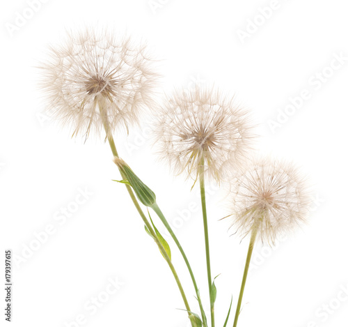 Aluminium Paardenbloemen Three large blowball.
