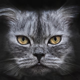 dark muzzle grey cat close-up. front view