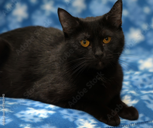 Tuinposter Panter Black cat with amber eyes on a blue background