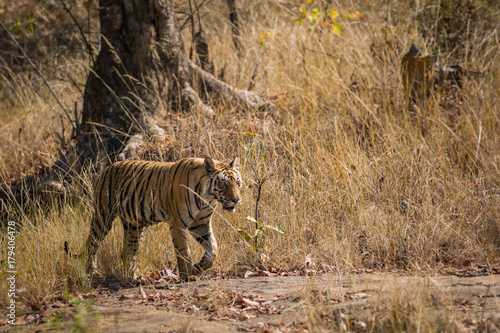 Aluminium Tijger A tiger in morning stroll, Bandhavgarh National Park, India