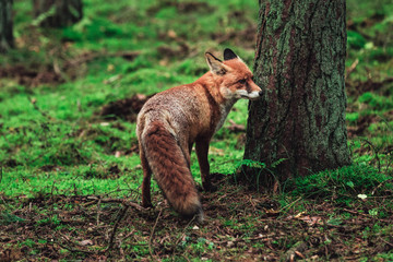Wild fox in the forrest