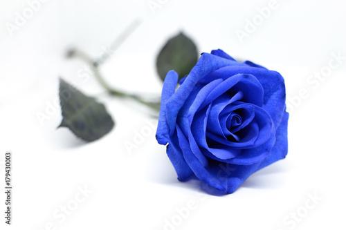 Kwiat błękit róża odizolowywająca na białym tle