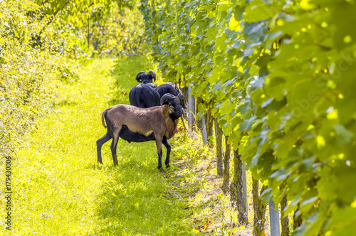 Plexiglas Geel goats in a vineyard