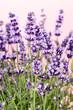 Lavender flowers. - 179443882