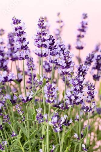 Aluminium Lavendel Lavender flowers.