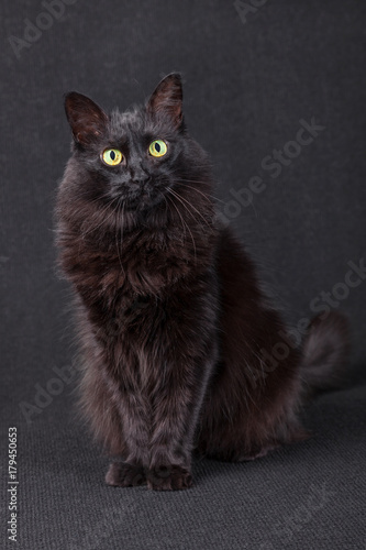 Cute black cat sitting, facing and looking at the camera acting curious on a dark background Poster